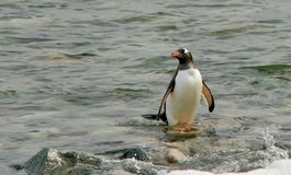 Penguin, standing on Rock Stock Image