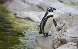 Penguin standing on rocks Stock Images