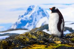 Penguin is standing on the rocks in the Antarctic Stock Photography