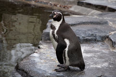 Penguin standing on the shore Stock Images