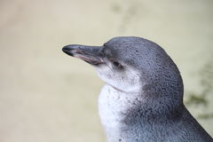A Penguin. Staring into space Stock Photos
