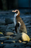 Penguin between stones in daylight Royalty Free Stock Image