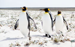 Penguin Stroll Royalty Free Stock Photography