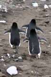 The Penguin Strut Royalty Free Stock Image