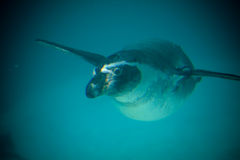 Penguin swimming. A penguin swimming forwards with flippers outstretched Royalty Free Stock Image