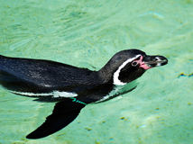 Penguin swimming Stock Image