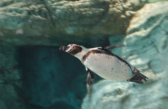 Penguin swimming Stock Photo
