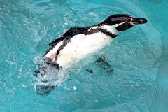 Penguin Swimming. A Penguin splashing around in the water royalty free stock photo
