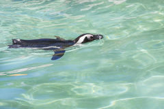 Penguin Swimming Royalty Free Stock Images