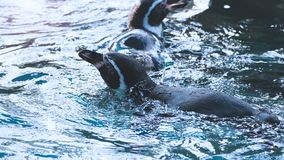 Penguin swimming in the blue water color royalty free stock photography