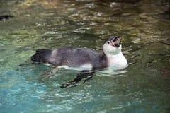 Penguin swimming Stock Photo