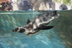 Penguin swimming Stock Photos