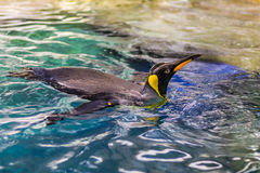 Penguin swimming 1 Stock Photo