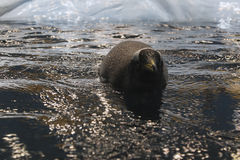 Penguin swimming from the ice Royalty Free Stock Photos