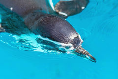 Penguin swimming looks under water Royalty Free Stock Photography