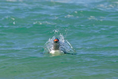 Penguin Swimming in the Ocean Stock Images