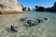 Penguin swimming party. Colony of Jackass penguins swimming in ocean pool at Boulders Beach near Cape Town Royalty Free Stock Photos
