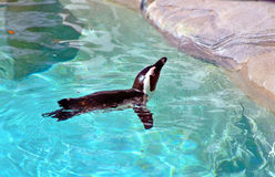 Penguin swimming in a pool. A penguin swimming in a man made pool, Tampa Florida Royalty Free Stock Photo