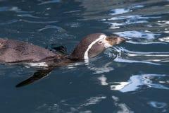 Penguin swimming Stock Image
