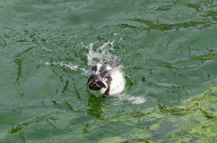 Penguin swimming in sideway position Royalty Free Stock Image