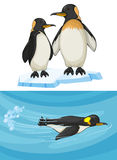 Penguin swimming and standing on ice Stock Photography