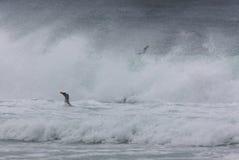 Penguin Swimming in Surf Stock Photo