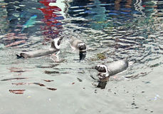Penguin swimming. Three african penguin swimming at zoo Royalty Free Stock Photos