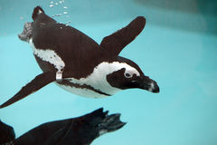 Penguin swimming under the water. Small ringed penguin swimming under the  water in the zoo Stock Photo