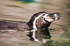 Penguin swimming in water Royalty Free Stock Image