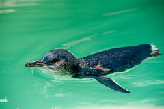 Penguin swimming Stock Images
