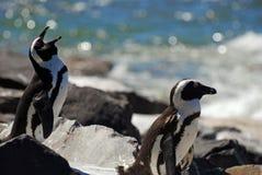 Penguin talk. Jackass Penguins near Simonstown, Cape Town Royalty Free Stock Photos