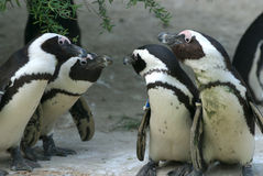 Penguin talk. 4 penguins looking at each other royalty free stock photos