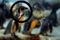 Penguin targeted by a hunter with the cross hairs of the scope o Stock Photo