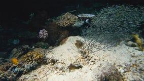 Penguin tetra swarm Thayeria boehlkei blackline penguinfish undersea stock photography
