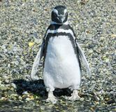 Penguin from Tierra del Fuego. Ushuaia royalty free stock photos