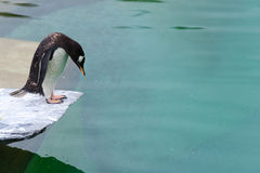 A penguin about to take a dive into the water. This penguin is standing on a platform trying to decide if he wants to dive into the water Stock Image