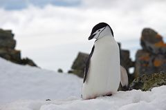 Penguin on Top of Snow Wildlife Photography Stock Photos