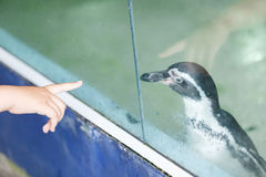 Penguin. Traveler`s hand try to touch a penguin behind mirror cage Stock Images