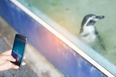 Penguin. Traveler`s try to take a photo penguin behind mirror cage by smartphone Royalty Free Stock Image