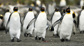 Penguin Trio Walking Together. A trio of penguins leads a group of followers back to the colony royalty free stock photo