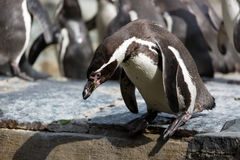 Penguin is trying to dive into the water.Group of Humboldt Penguins in the background Stock Images