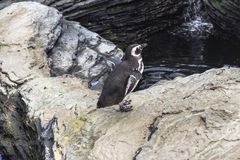 Penguin trying to fly in the Oceanario, Lisbon Royalty Free Stock Images