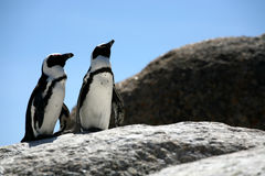 Penguin Two. Two black and white penguin standing on a rock Royalty Free Stock Image