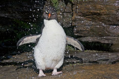 Penguin Under a Stream of Water Royalty Free Stock Image
