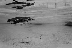 Penguin swim under water surface  Royalty Free Stock Photography