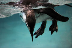 Penguin under the water Royalty Free Stock Photo