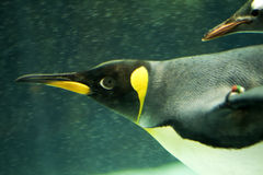 Penguin Underwater. King penguin swimming underwater with a Gentoo penguin following close behind. Horizontal format Royalty Free Stock Photo