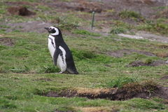 Penguin in Ushuaia Stock Photography