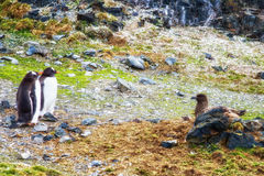 Penguin versus Skua Royalty Free Stock Photography