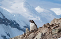Penguin view Royalty Free Stock Photo